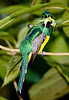 Black-throated_Trogon FBuenaVista_09_02_19_4786_134