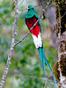 Respledent Quetzal male, worshipped by the Mayan Indians