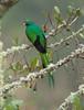 Quetzal Savegre_09-11-14_7I2B3794