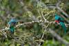 Quetzal Savegre_09-11-14_7I2B3783