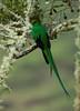 Quetzal Savegre_09-11-14_7I2B3816