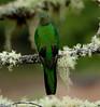 Quetzal Savegre_09-11-14_7I2B3837