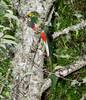 Quetzal Savegre_09-11-14_7I2B3713