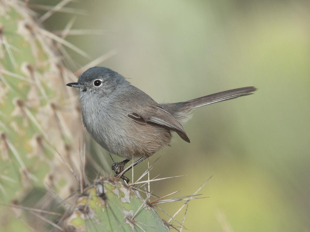 Blue-gray GnatcatcherCLU_10-03-01_7I2B7551-2