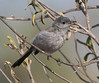 Gnatcatcher (11)