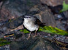 Sulphur-rumped Flycatcher_07-08-14_0001
