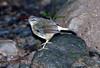 Sulphur-rumped Flycatcher_07-08-14_0002