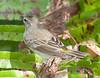 PineWarbler CorkscrewSwampFL_7I2B3935_11-02-01