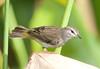 PineWarbler CorkscrewSwampFL_7I2B3934_11-02-01