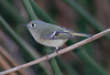Ruby-crowned kinglet (2)