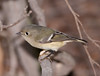 Ruby-crowned kinglet (13)