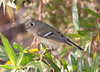 Ruby-crowned kinglet (17)