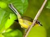 RufousCappedWarbler VilLapas_09-11-02_7I2B1551