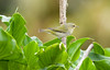 TennesseeWarbler Savegre_09-11-14_7I2B3873