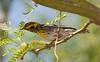TownsendsWarbler 29PalmsInn_1_05-07-06
