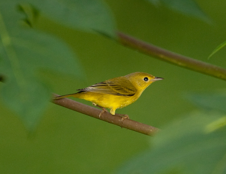 YellowWarbler HaBaru_09-10-22_0001
