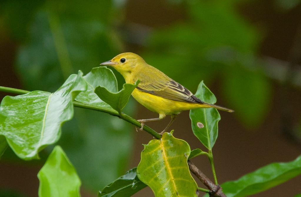 YellowWarblerFem HaBaru_09-10-21_0002