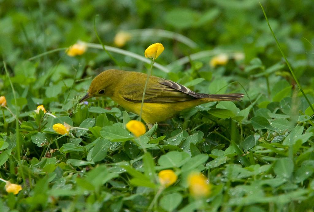 YellowWarblerFem HaBaru_09-10-21_0007