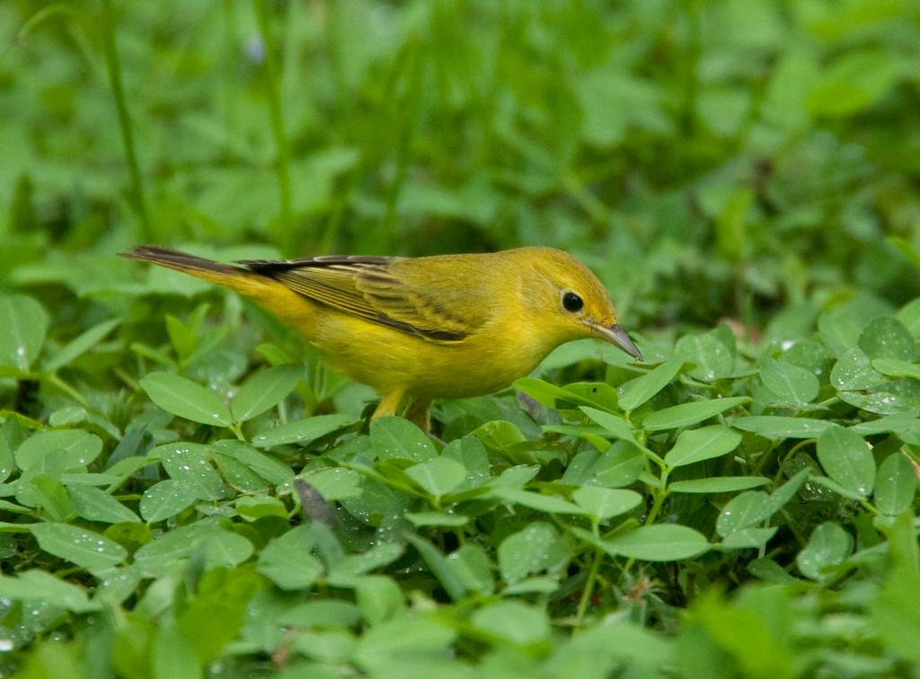 YellowWarblerFem HaBaru_09-10-21_0006