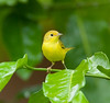 YellowWarblerFem HaBaru_09-10-21_0003