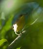 YelWarbler HaBaru_09-10-25_7I2B0900