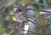 Yellow-Rumped Warbler Botgard_07-12-02_0011