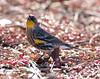 Yellow-Rumped Warbler Botgard_07-12-02_0018