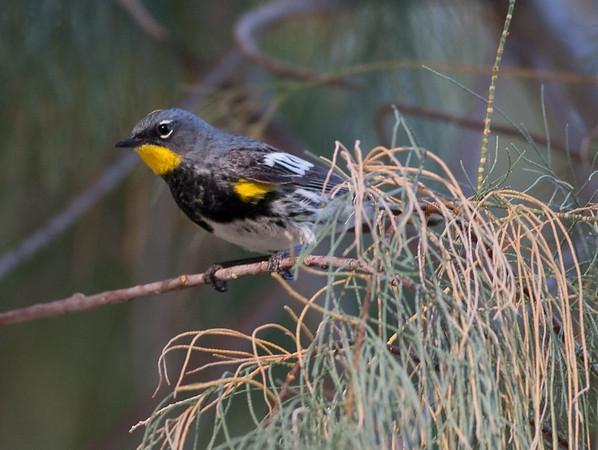 AudubonWarbler 29PalmsInn_2_05-08-06