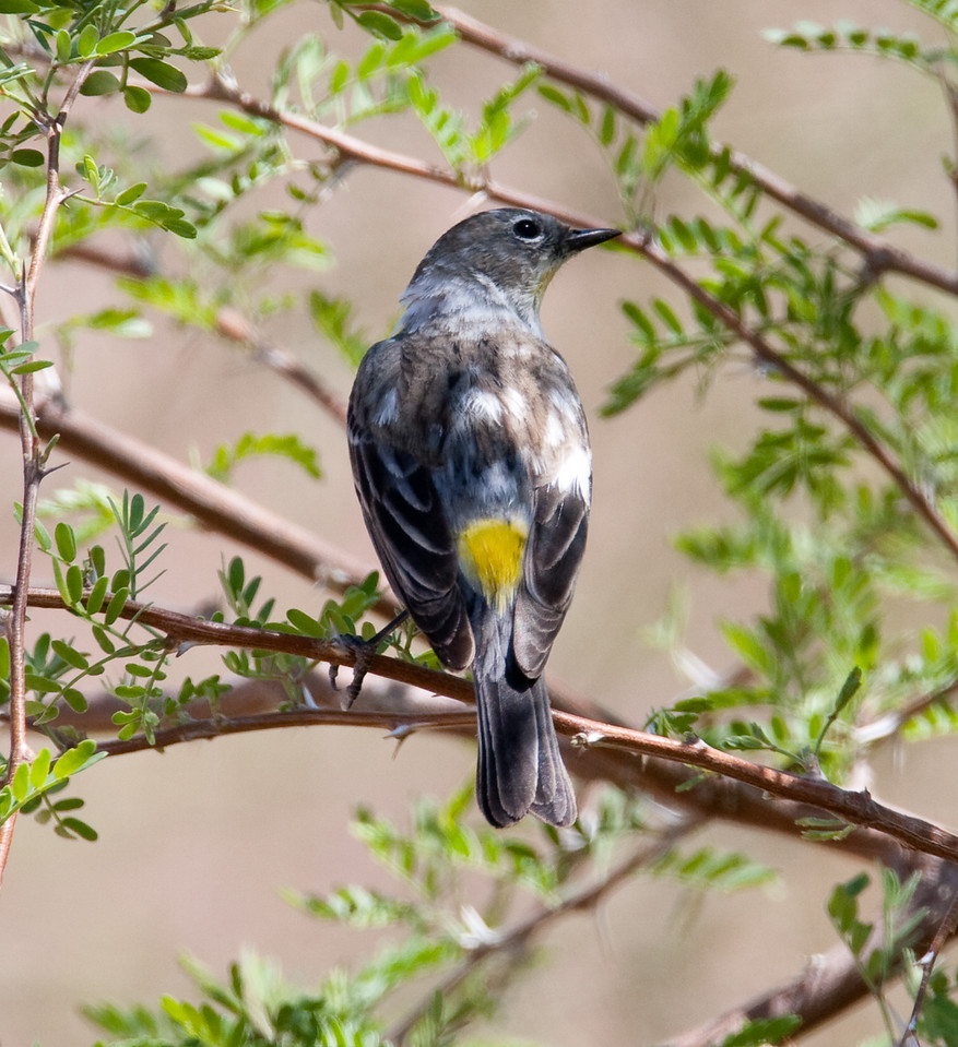 YellowRumpWarbler_SaltonSea_08-03-25-0006