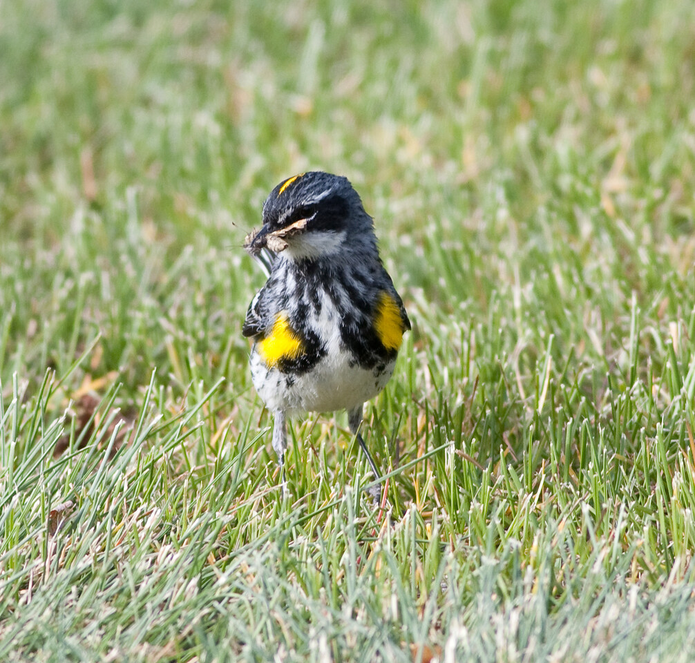 yellow-rumped warbler myrtle va_08-06-29_08-06-29_Kulanei Lake_0015