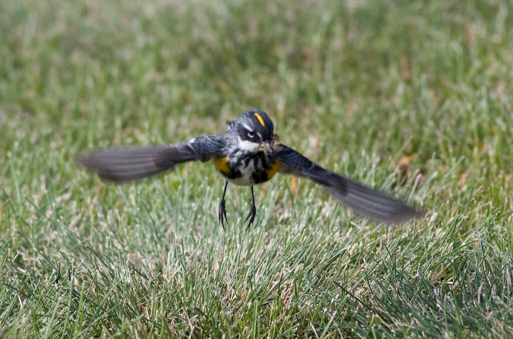 yellow-rumped warbler myrtle va_08-06-29_08-06-29_Kulanei Lake_0016