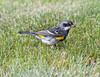 yellow-rumped warbler myrtle va_08-06-29_08-06-29_Kulanei Lake_0014