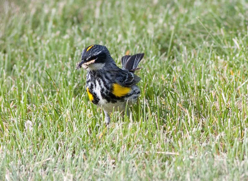 yellow-rumped warbler myrtle va_08-06-29_08-06-29_Kulanei Lake_0013
