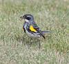 yellow-rumped warbler myrtle va_08-06-29_08-06-29_Kulanei Lake_0023