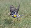 yellow-rumped warbler myrtle va_08-06-29_08-06-29_Kulanei Lake_0022
