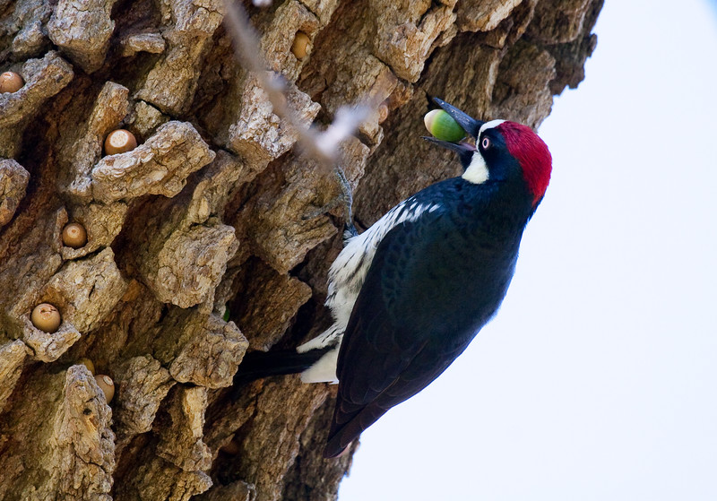05-11-11 Acorn woodpecker-1