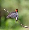 BlkCheekWdpecker EcoObservatory_12-10-11__O6B3764