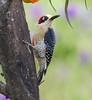 BlkCheekWdpecker EcoObservatory_12-10-11__O6B3664
