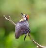 BlkCheekWdpecker EcoObservatory_12-10-11__O6B3767