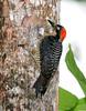 woodpecker, black-cheeked (3)_CostaRica-05_07-14-05