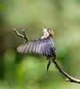 BlkCheekWdpecker EcoObservatory_12-10-11__O6B3766