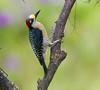 BlkCheekWdpecker EcoObservatory_12-10-11__O6B3656