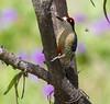 BlkCheekWdpecker EcoObservatory_12-10-11__O6B3703