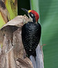 black-cheeked woodpecker_07-08-07_0001