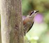 BlkCheekWdpecker EcoObservatory_12-10-11__O6B3763