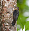 woodpecker, black-cheeked (4)_CostaRica-05_07-14-05