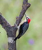 BlkCheekWdpecker EcoObservatory_12-10-11__O6B3795