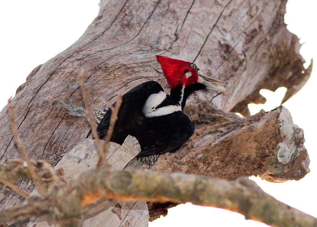 Crimson-Crested Woodpecker Pant_06-08-15_0014