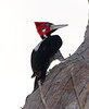 Crimson-Crested Woodpecker Pant_06-08-15_0017