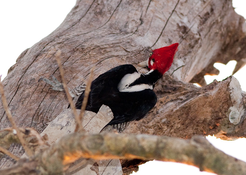 Crimson-Crested Woodpecker Pant_06-08-15_0012